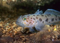 Leopard spotted goby. North Wales.